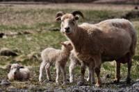 Lambs & ewe